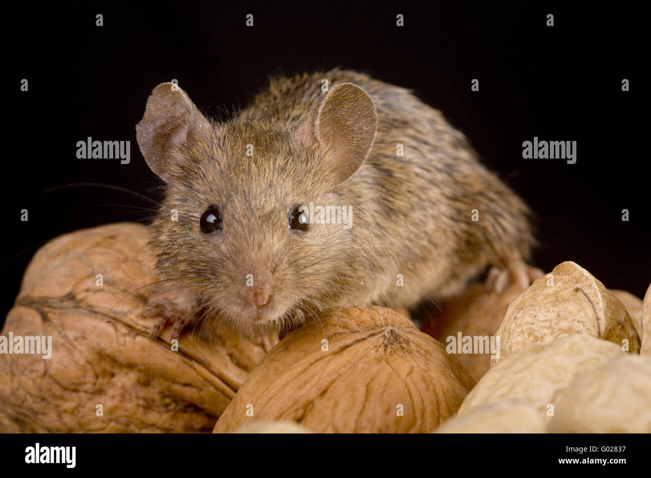 house mouse (mus musculus)  with nuts - Stock Image