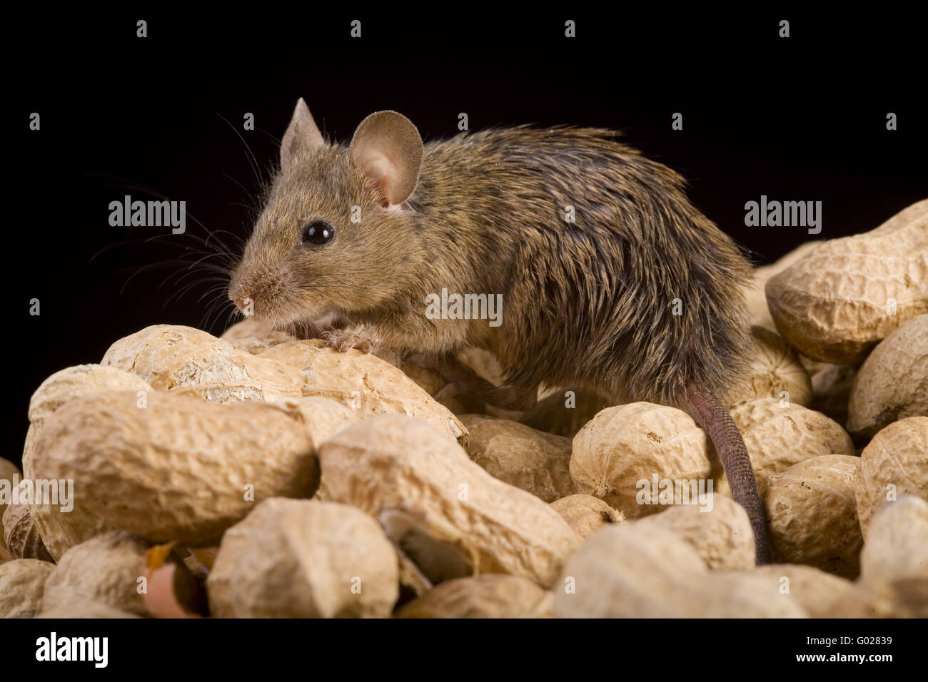 house mouse (mus musculus)  with nuts Stock Photo