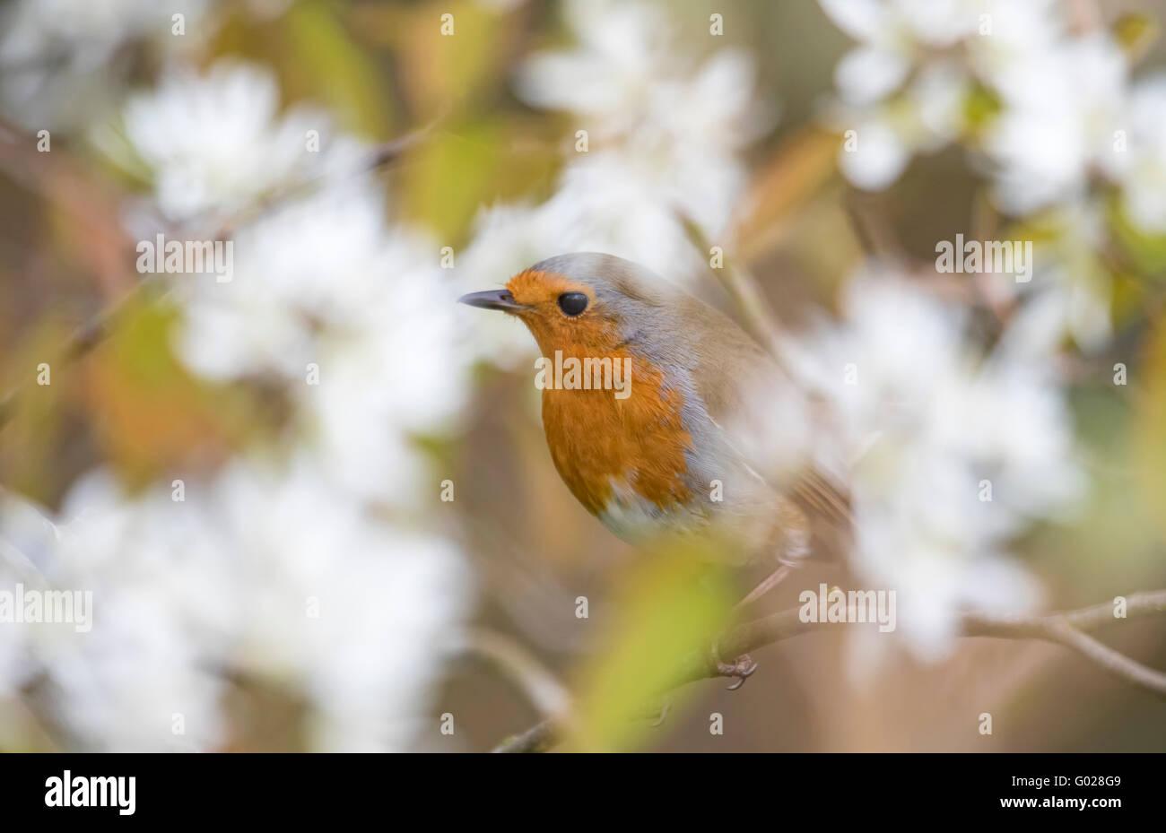 European Robin (Erithacus Rubecula) in spring blossom, England, UK - Stock Image