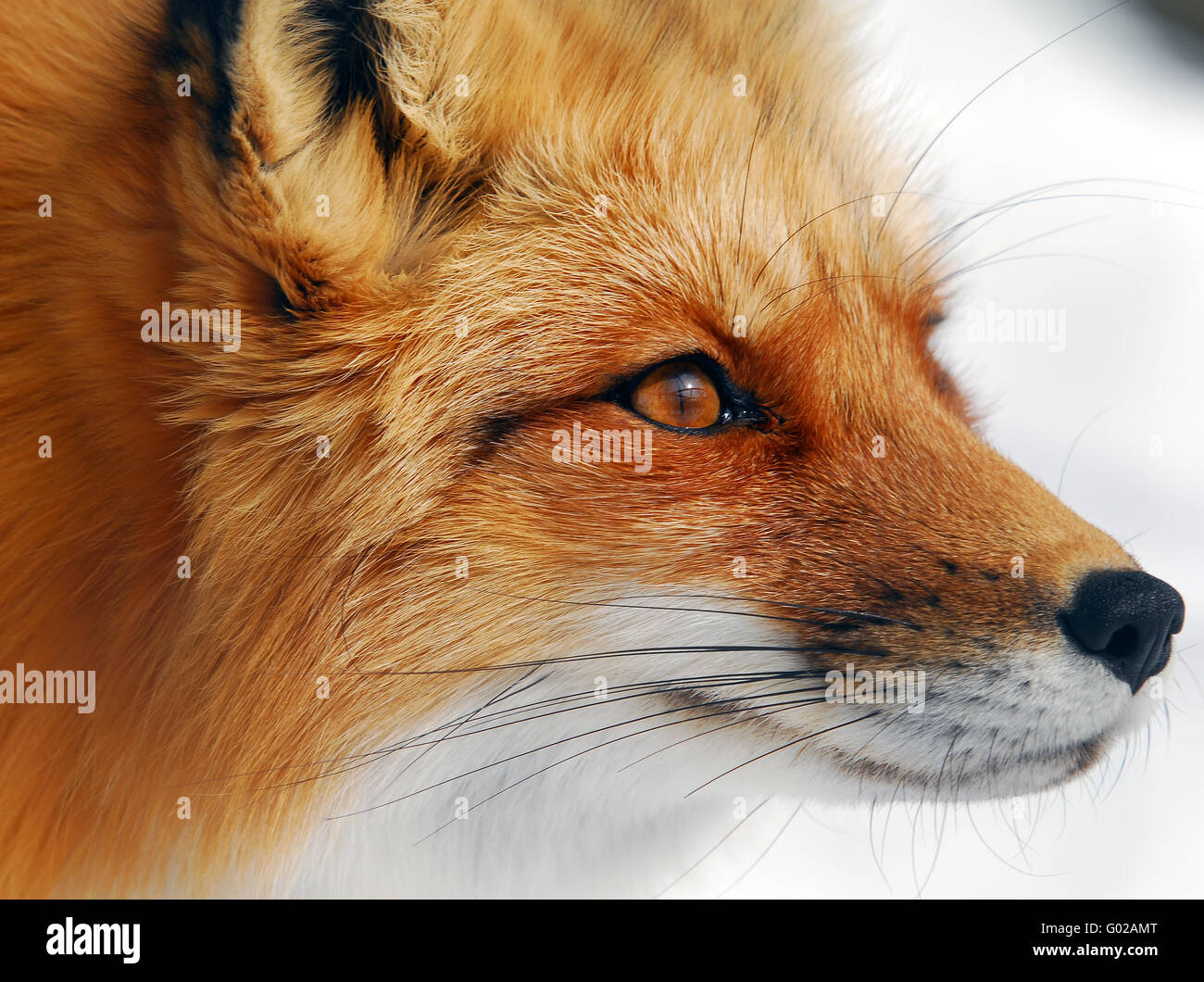 Close-up picture of a wild Red Fox - Stock Image