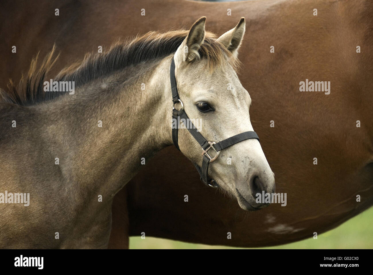 foal, stallion - Stock Image