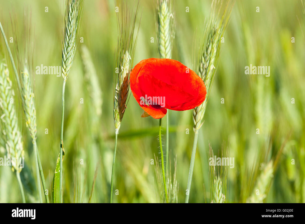 Poppy in the field - Stock Image
