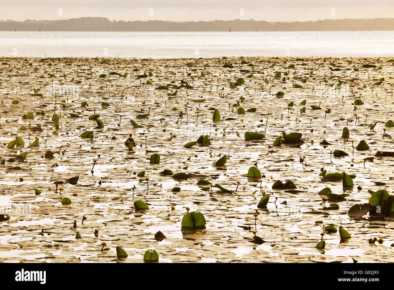 wild water lilies in the morning light, Schwerin - Stock Image