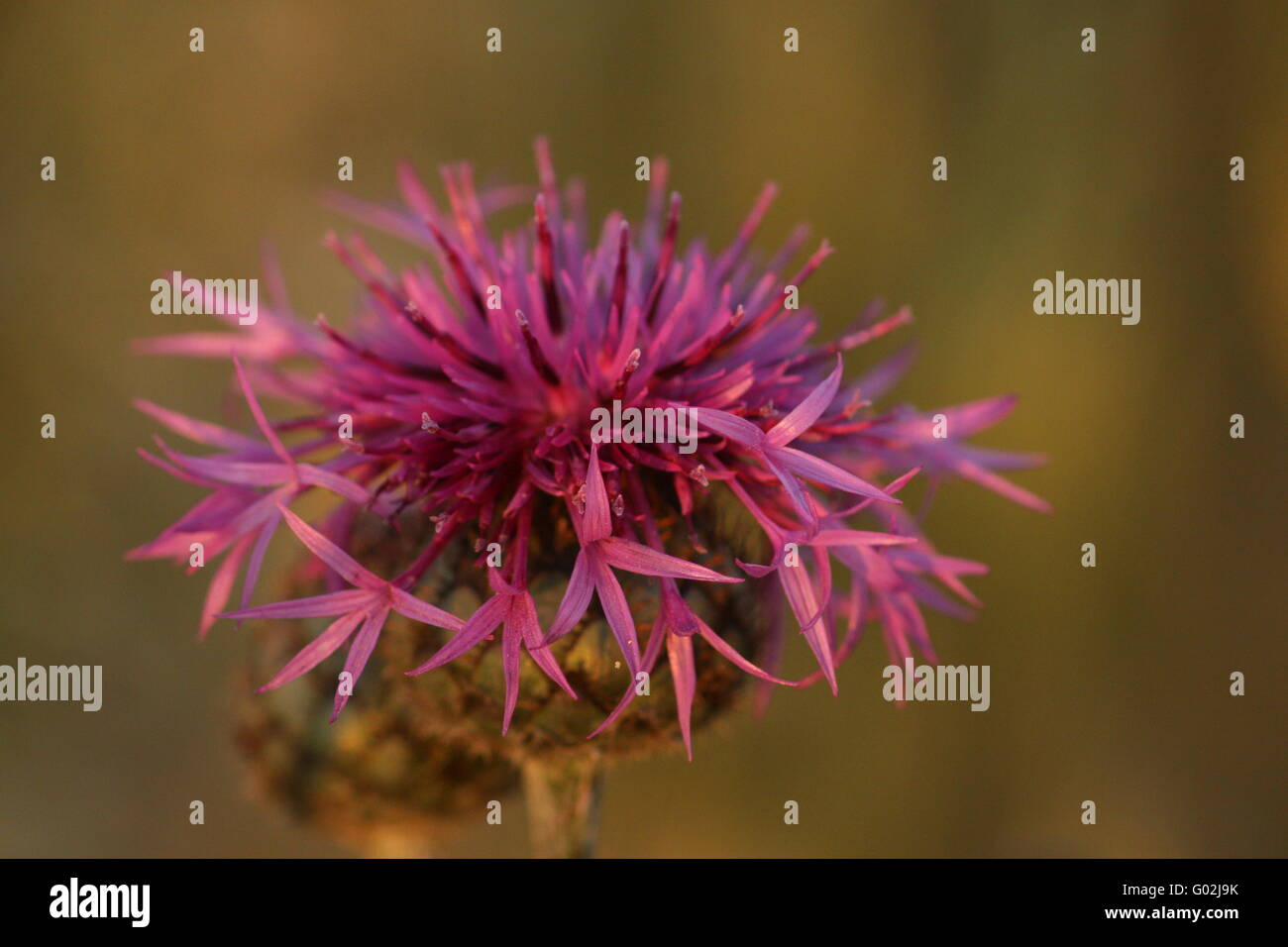 Brownray Knapweed - Stock Image