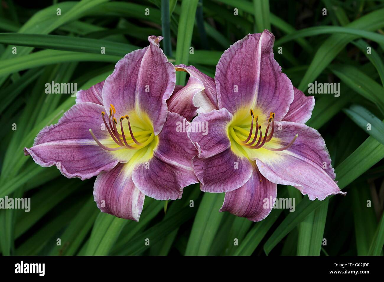 Lily Lilium Stock Photo