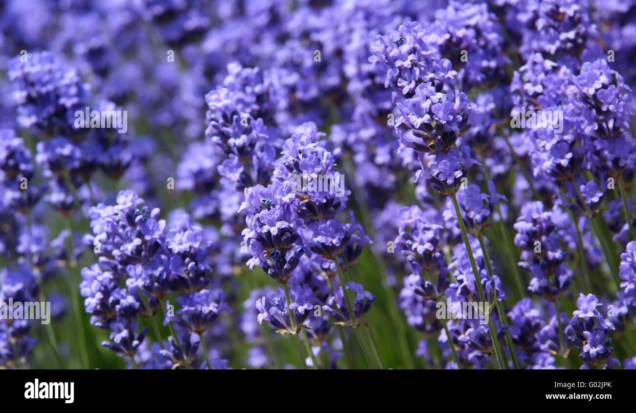 violett Lavender - Stock Image