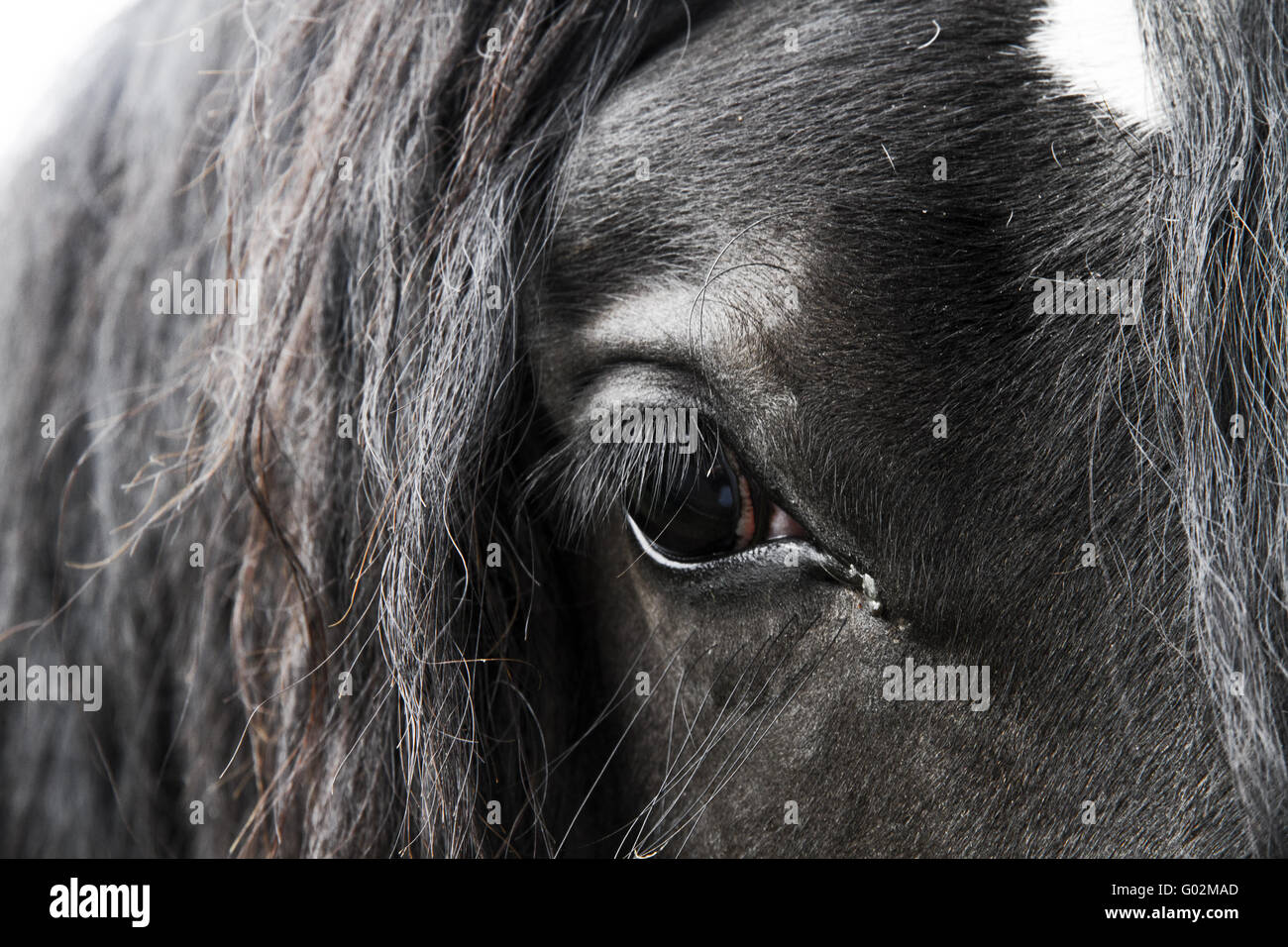 closeup on black horse - Stock Image