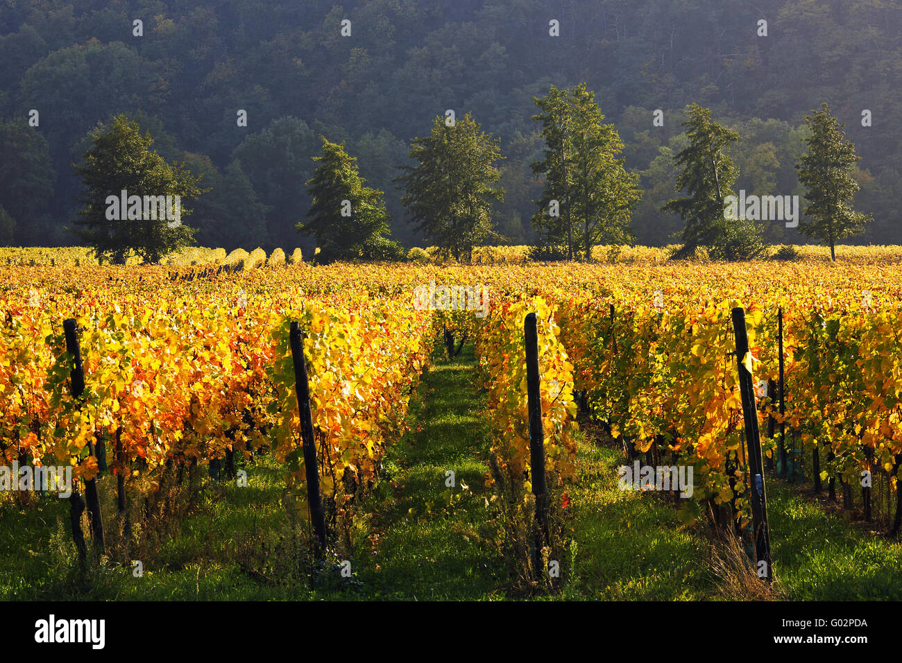 Vineyard and trees at Ammerschwihr, Alsace, France - Stock Image