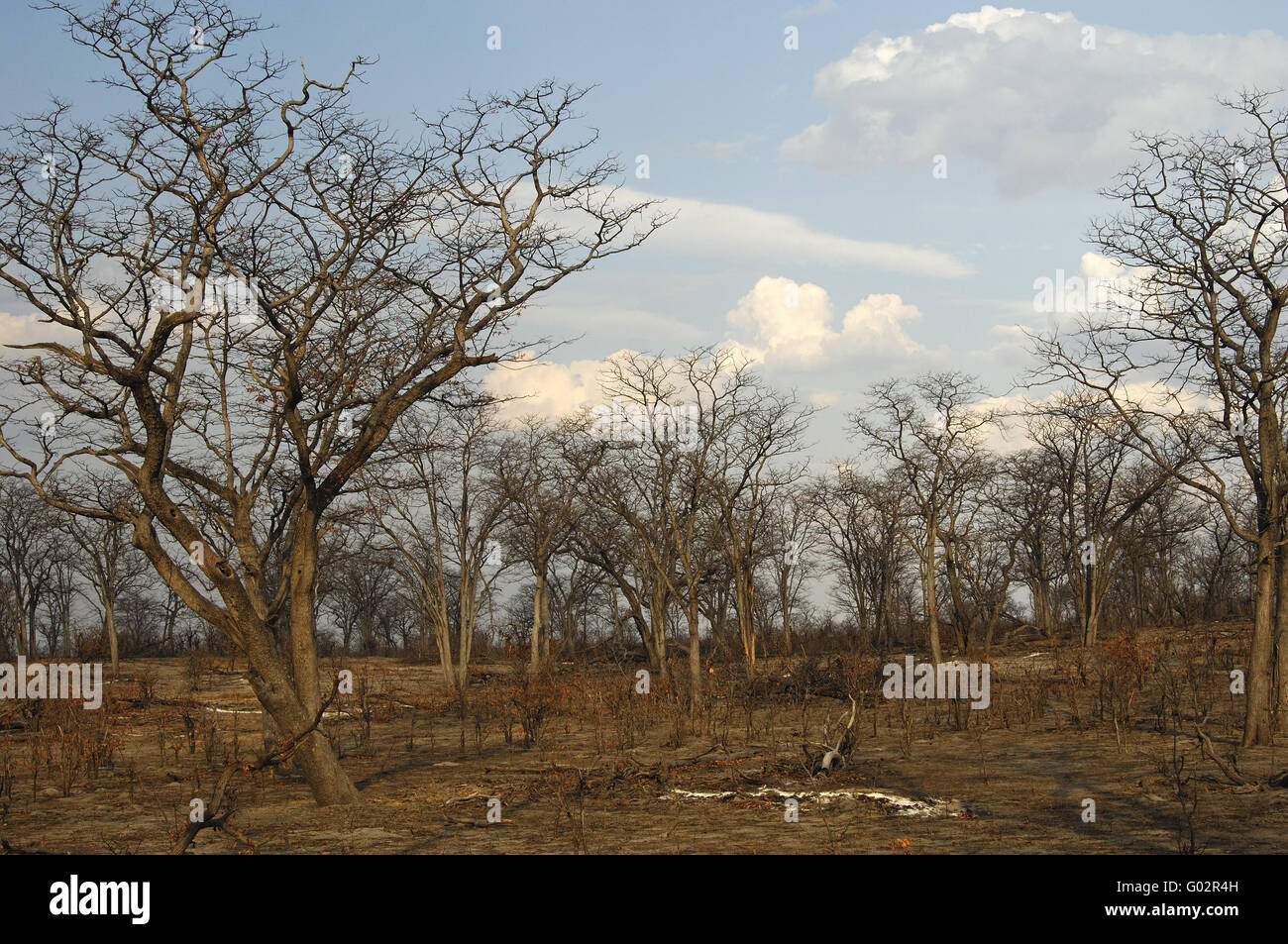 Forest of defoliated semi-deciduous Leadwood trees - Stock Image