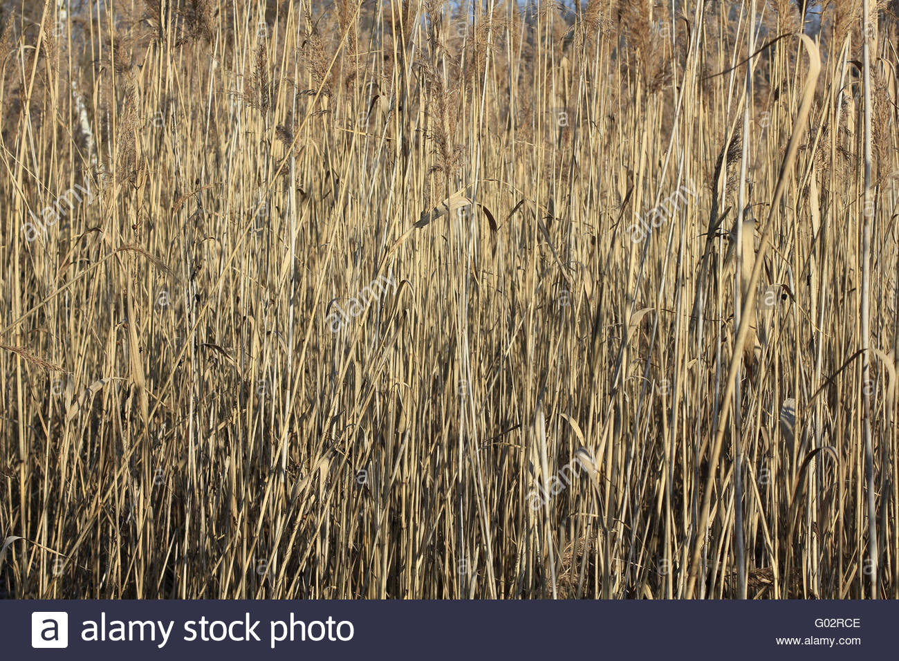 Cane brake on a pond in winter - Stock Image