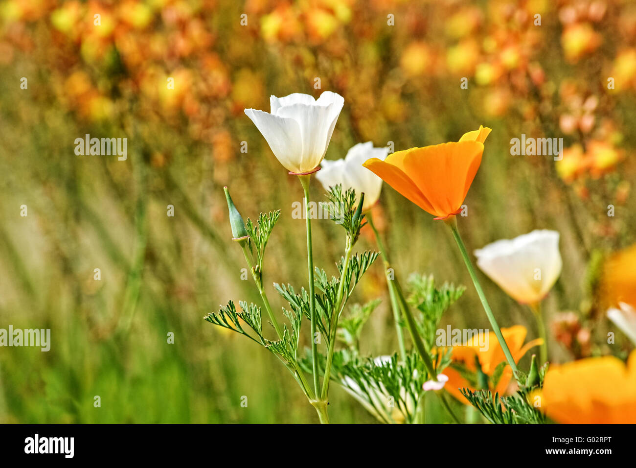 California poppy, Eschscholzia californica , white and orange flowers in nature in California - Stock Image