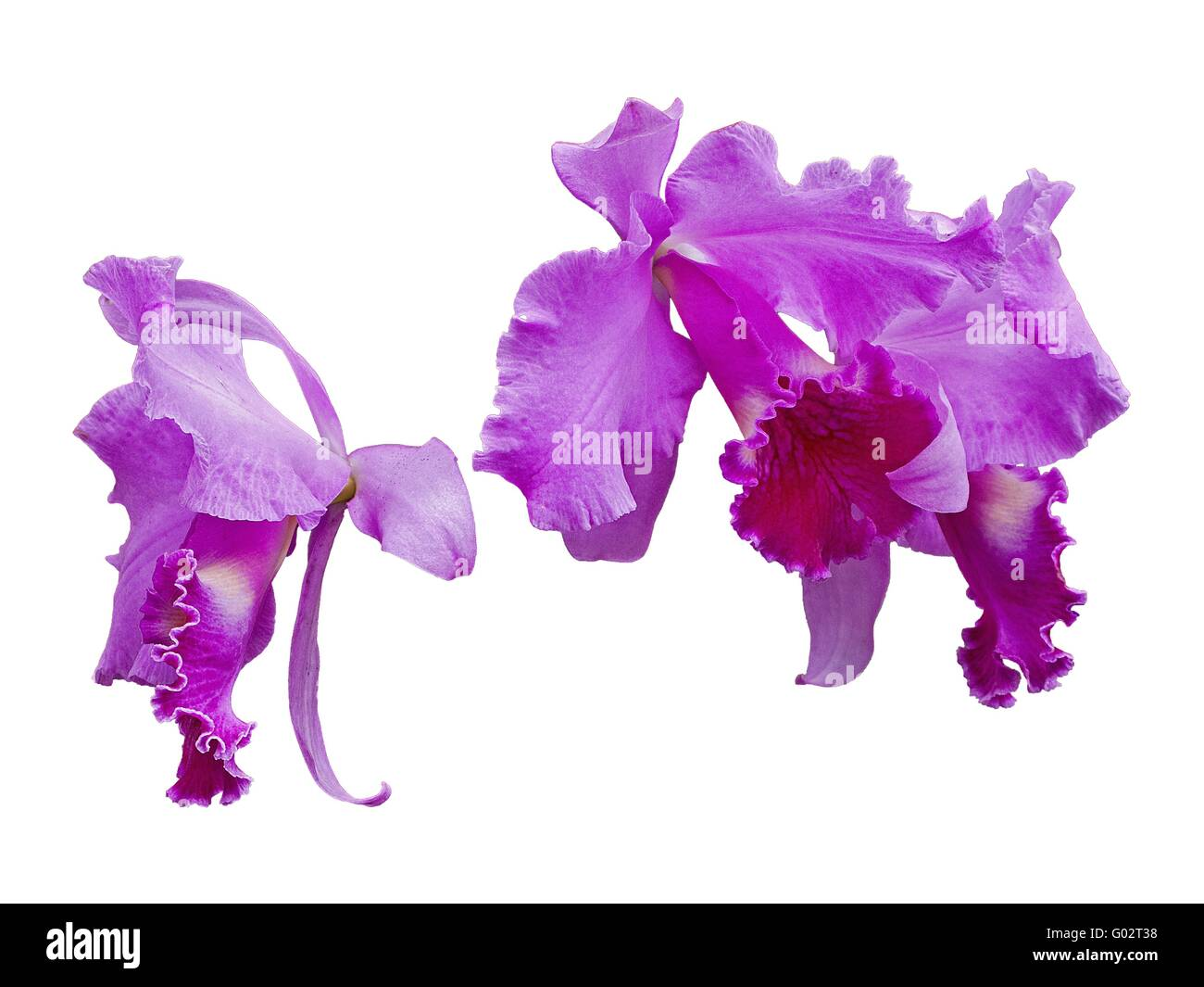 violet orchid on white background - Stock Image