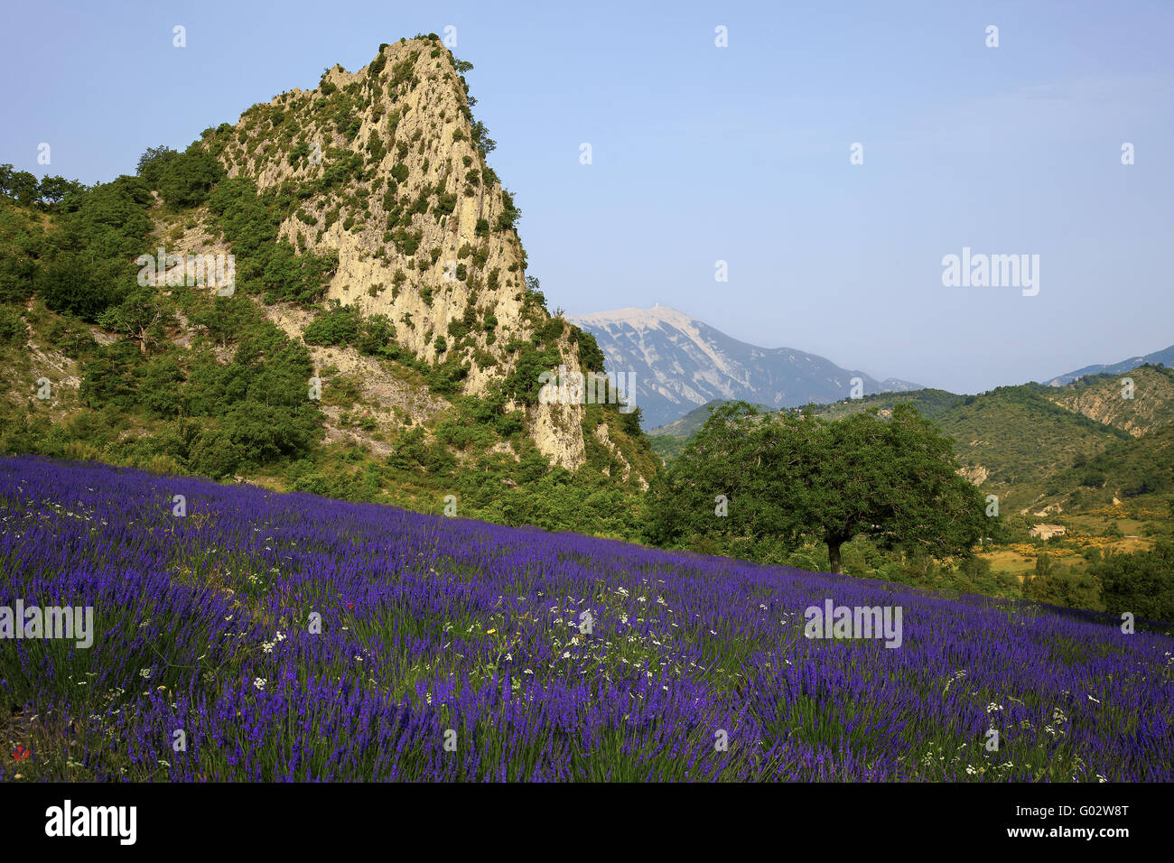lavender with a view of Mont Ventoux, Provence - Stock Image