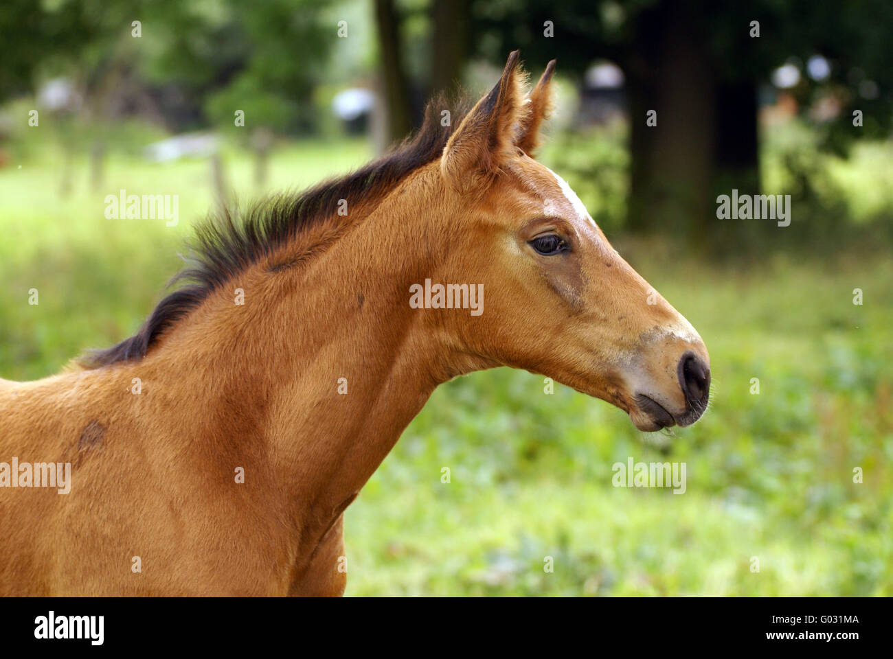Foal head study Stock Photo