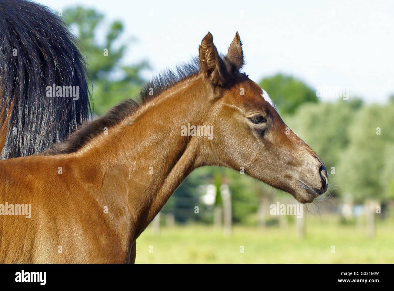 Foal head study Stock Photo