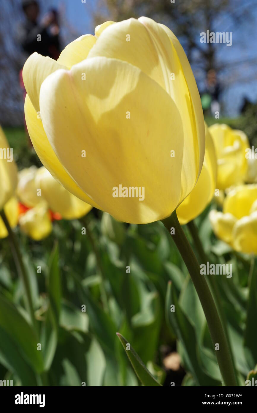 Close-up of the Darwin hybrid tulip, 'Cream Jewel.' - Stock Image