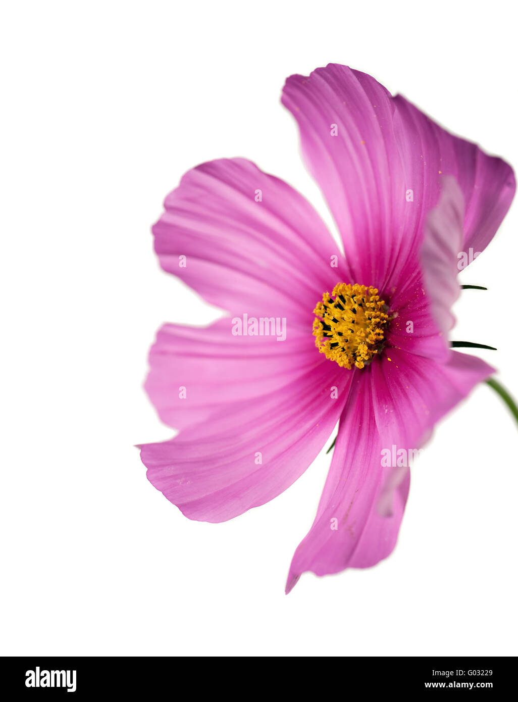 closeup of a cosmo flower with focus on yellow pistil Stock Photo