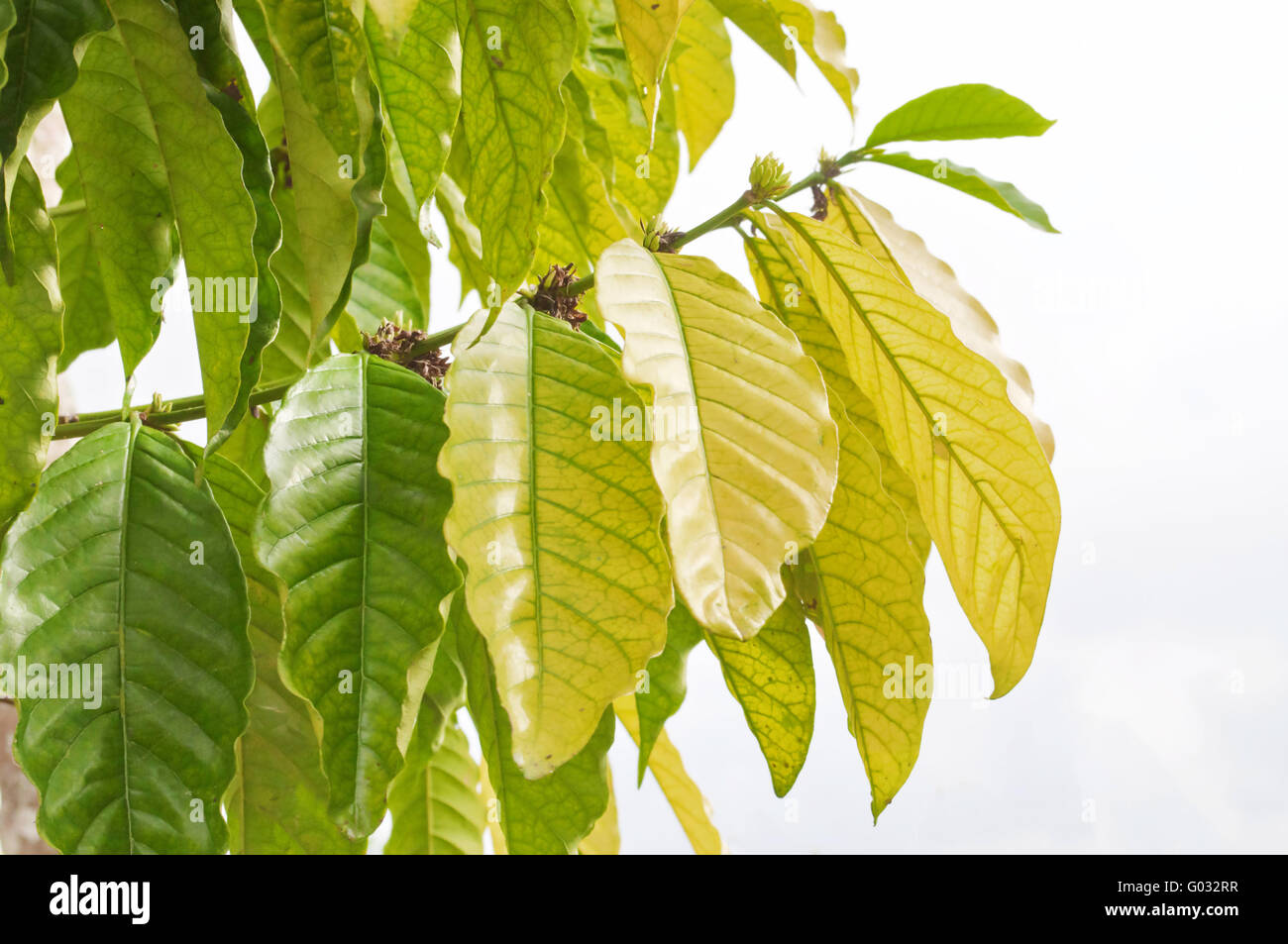Fresh green tobacco leaves on white background - Stock Image