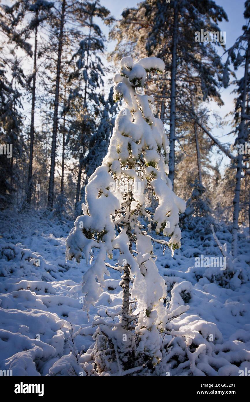 spruce under snow - Stock Image