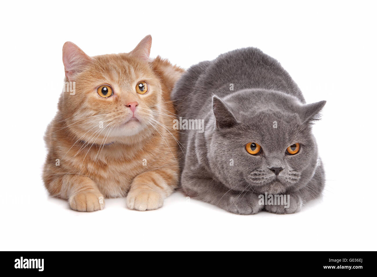 Blue British Shorthair And A Red Maine Coon Cat Stock Photo Alamy