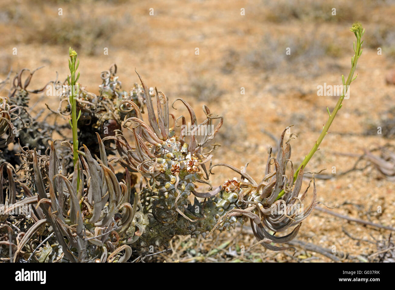 Tylecodon wallichii with flower buds, South Africa - Stock Image