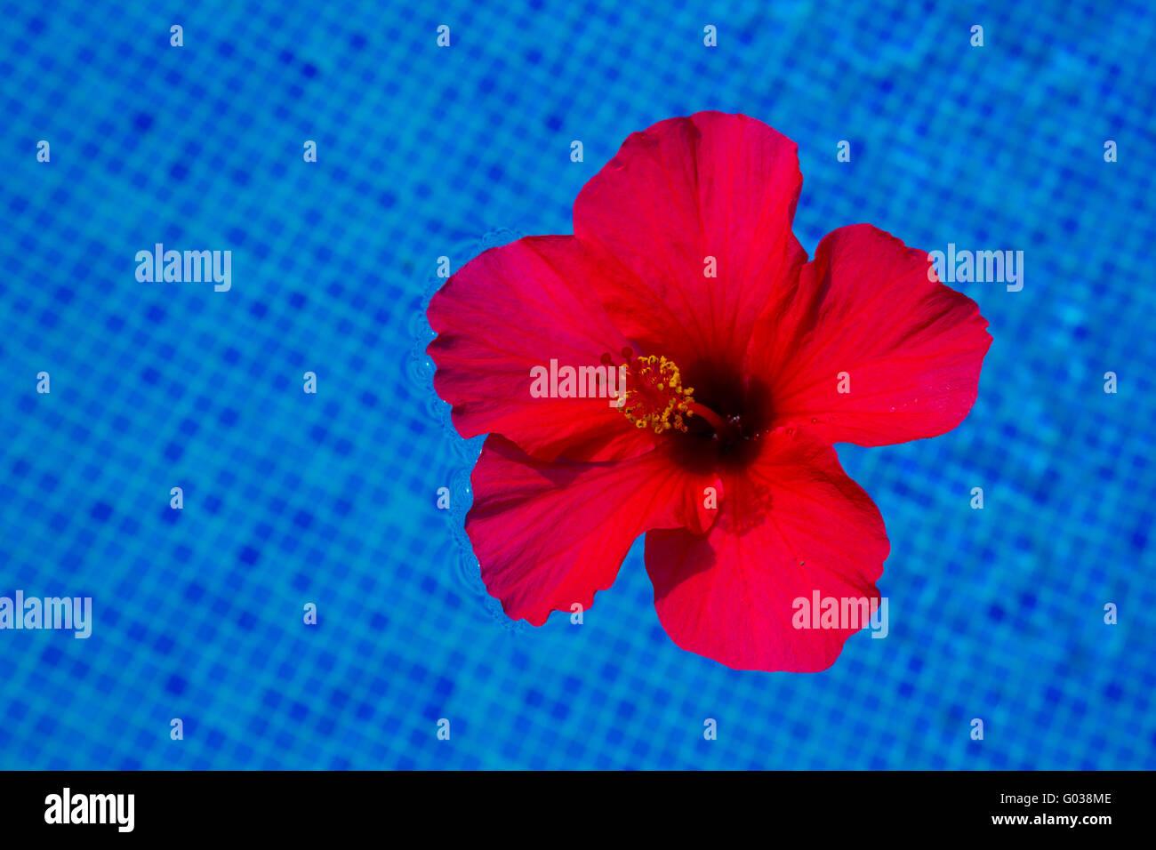 Hibiscus Flower In Fresh Water Stock Photo 103334910 Alamy