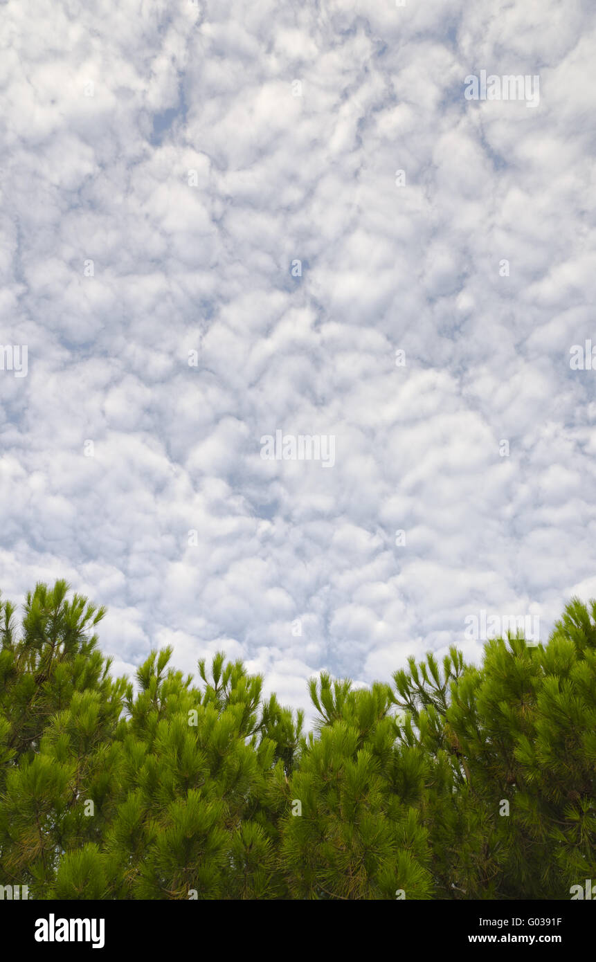 Cloudy sky and pine trees - Stock Image