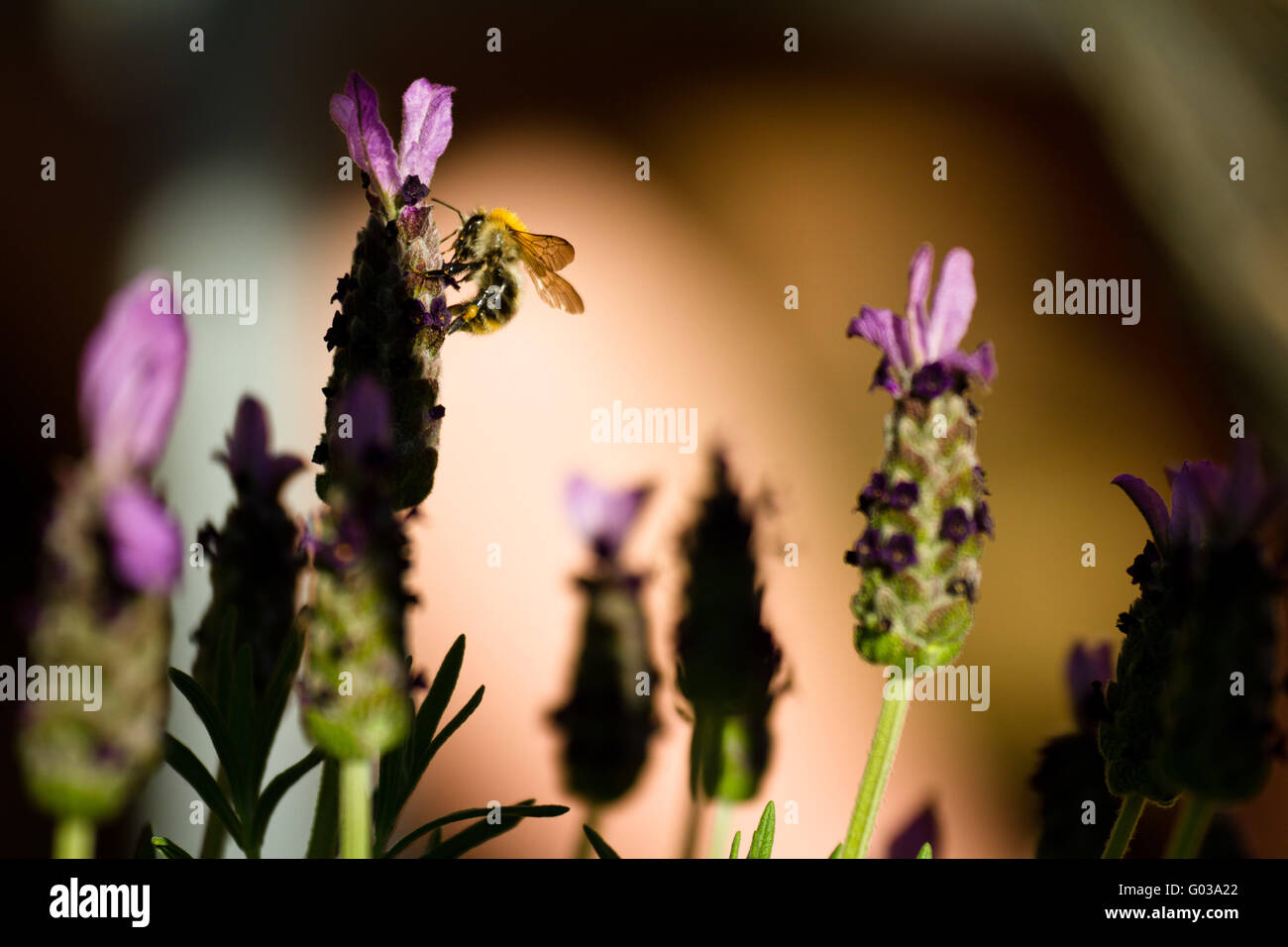 Bumble bee and lavender - Stock Image