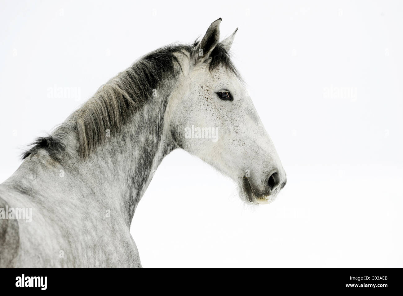 gelding warmblood snow exempted - Stock Image