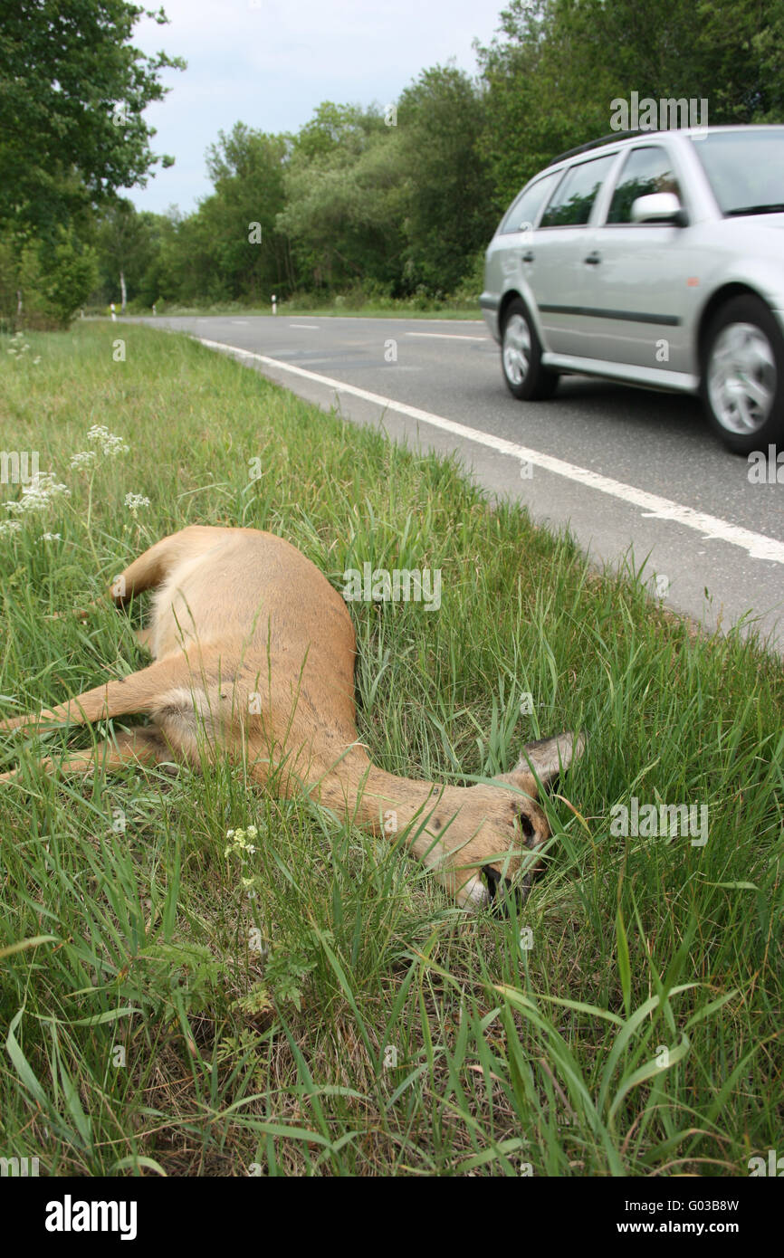 Dead deer on a country road - Stock Image