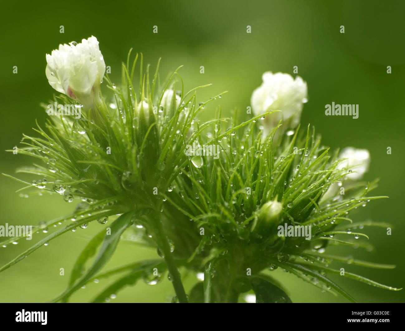 Sweet William - Stock Image