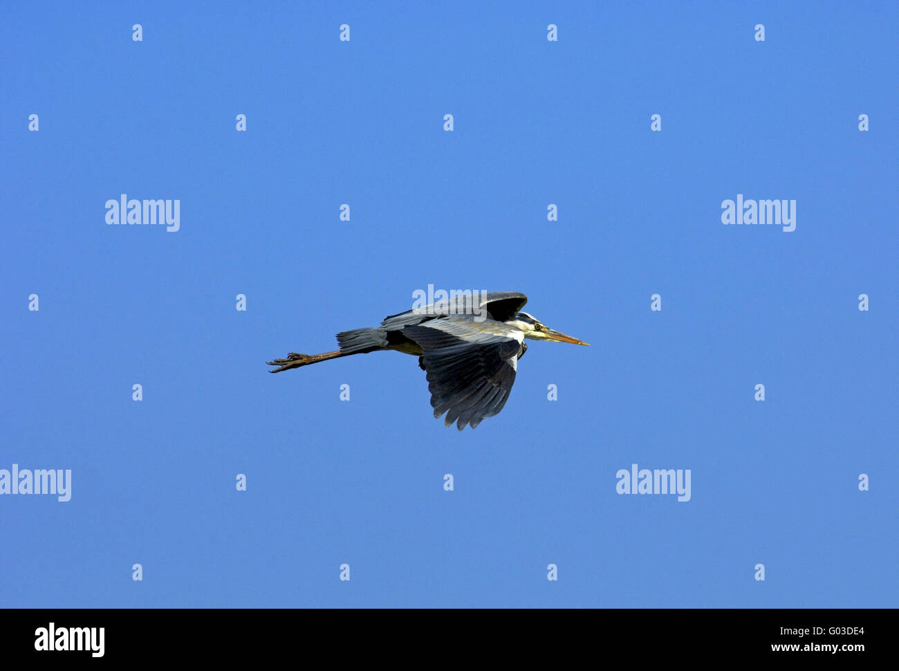 Flying Grey Heron (Ardea cinerea) - Stock Image