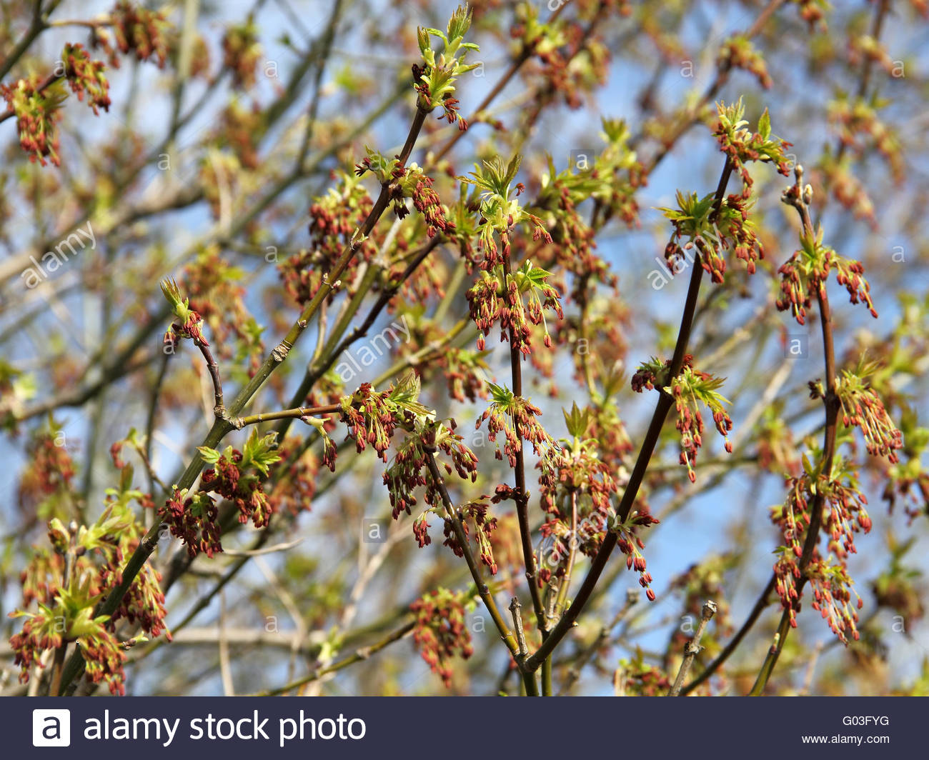Flowering branches of the Maple Ash, Acer negundo - Stock Image