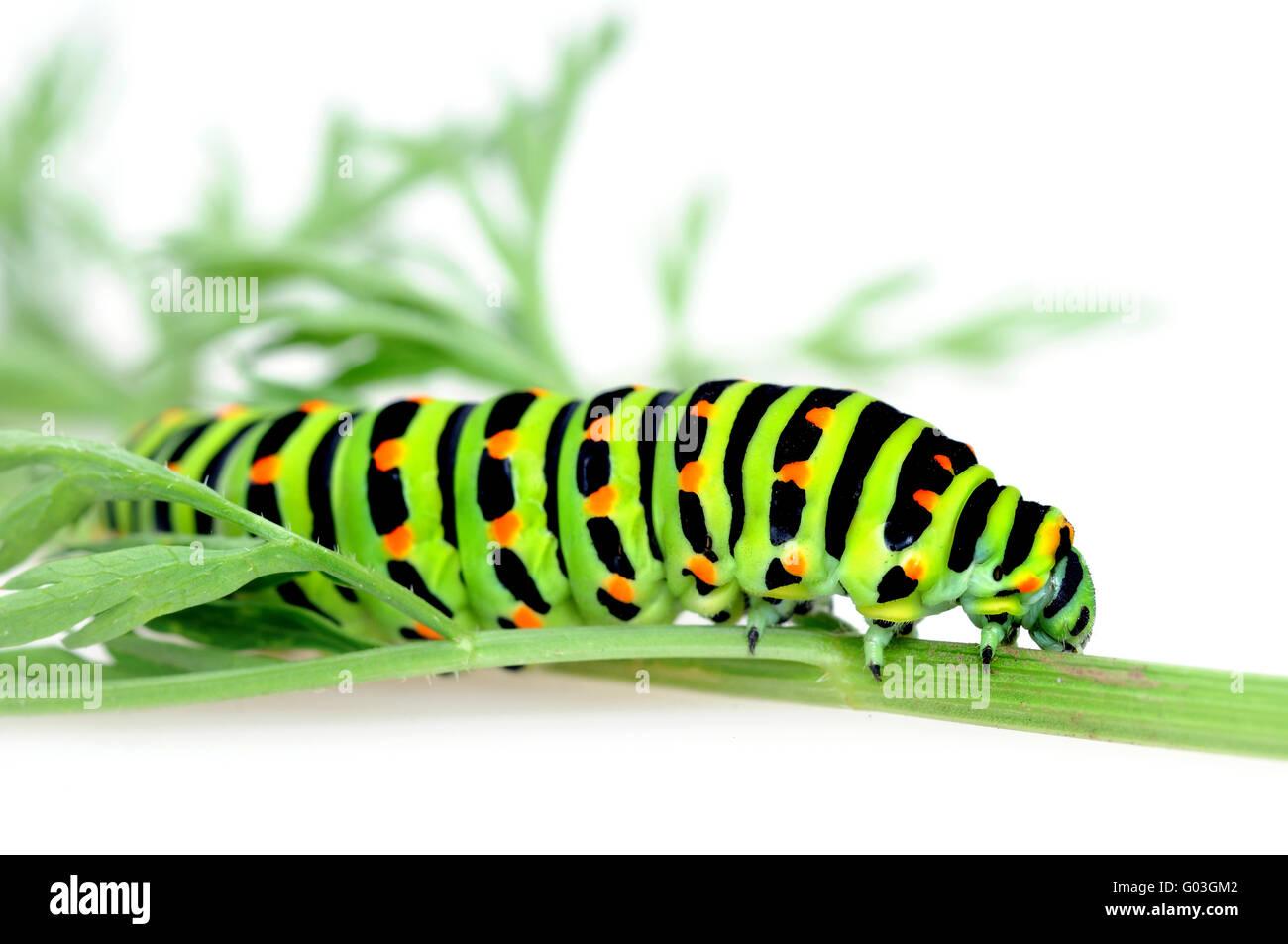 Schwalbenschwanz-Raupe / Swallowtail caterpillar Stock Photo
