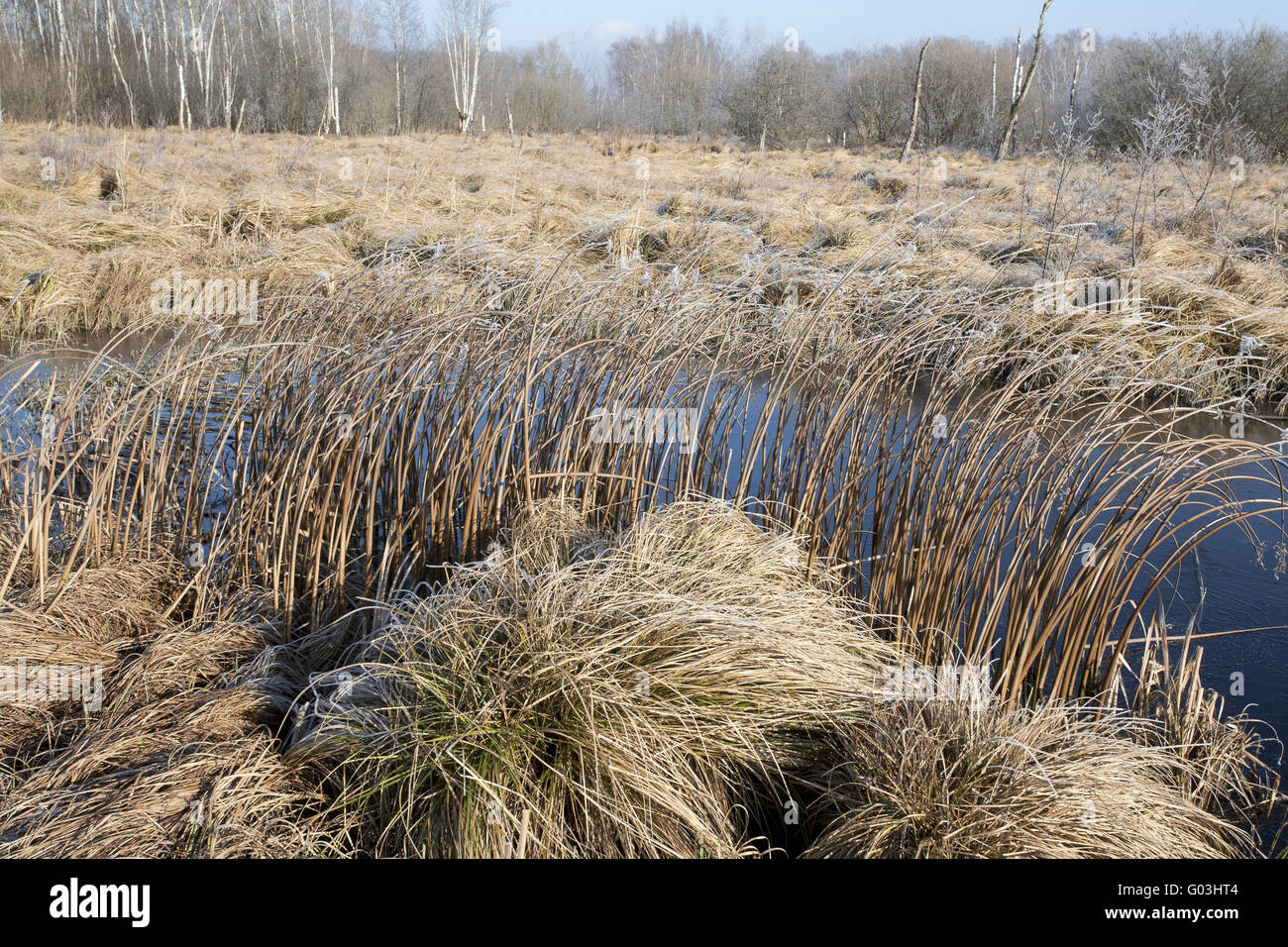 Birch forest and sedge reed, Germany, Bavaria Stock Photo