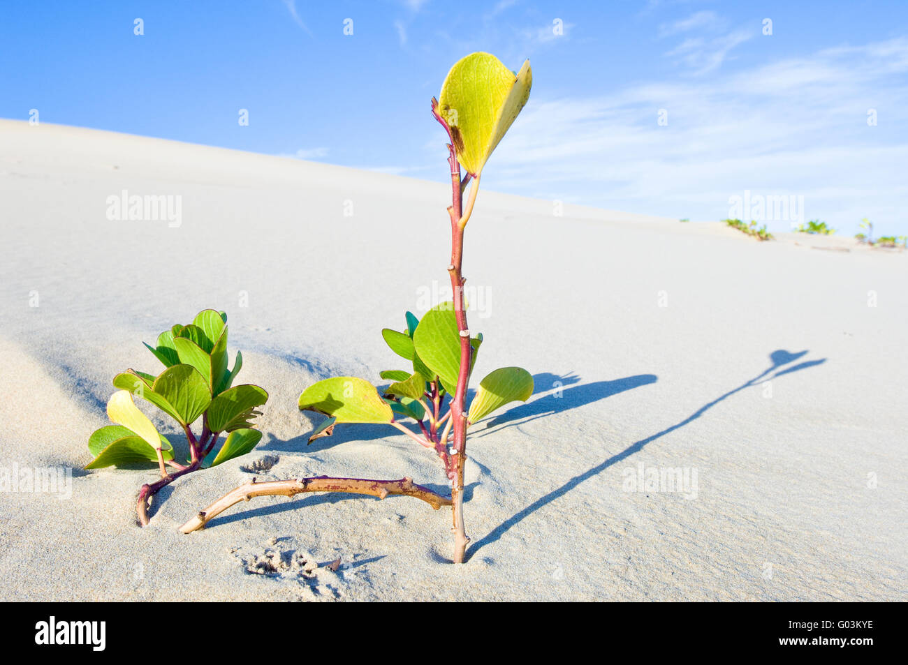 Ipomoea pes-caprae, also known as bayhops, beach morning glory or goat's foot, is a common pantropical creeping - Stock Image