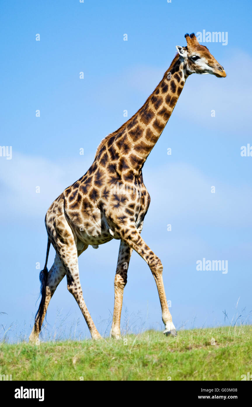 A male South African giraffe Giraffa camelopardalis in the Lalibela Game Reserve near Grahamstown, South Africa - Stock Image