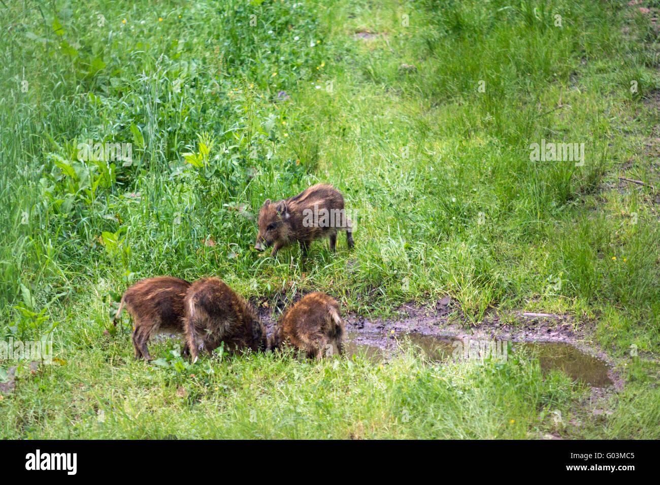 wild sow wildlife - Stock Image