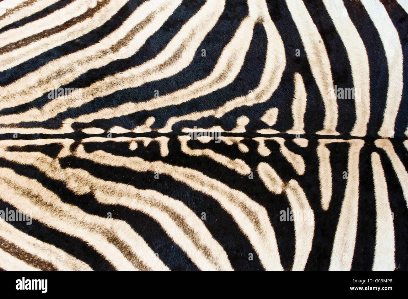 Detail image of a zebra skin floor rug - Stock Image
