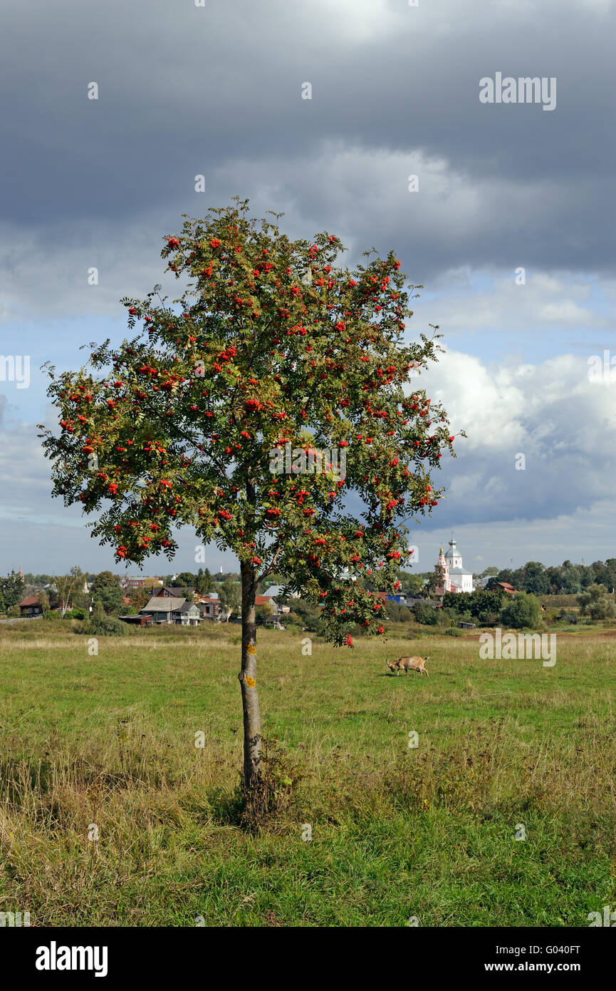 Mountain ash tree on meadow and Russian town Suzdal on horizon - Stock Image