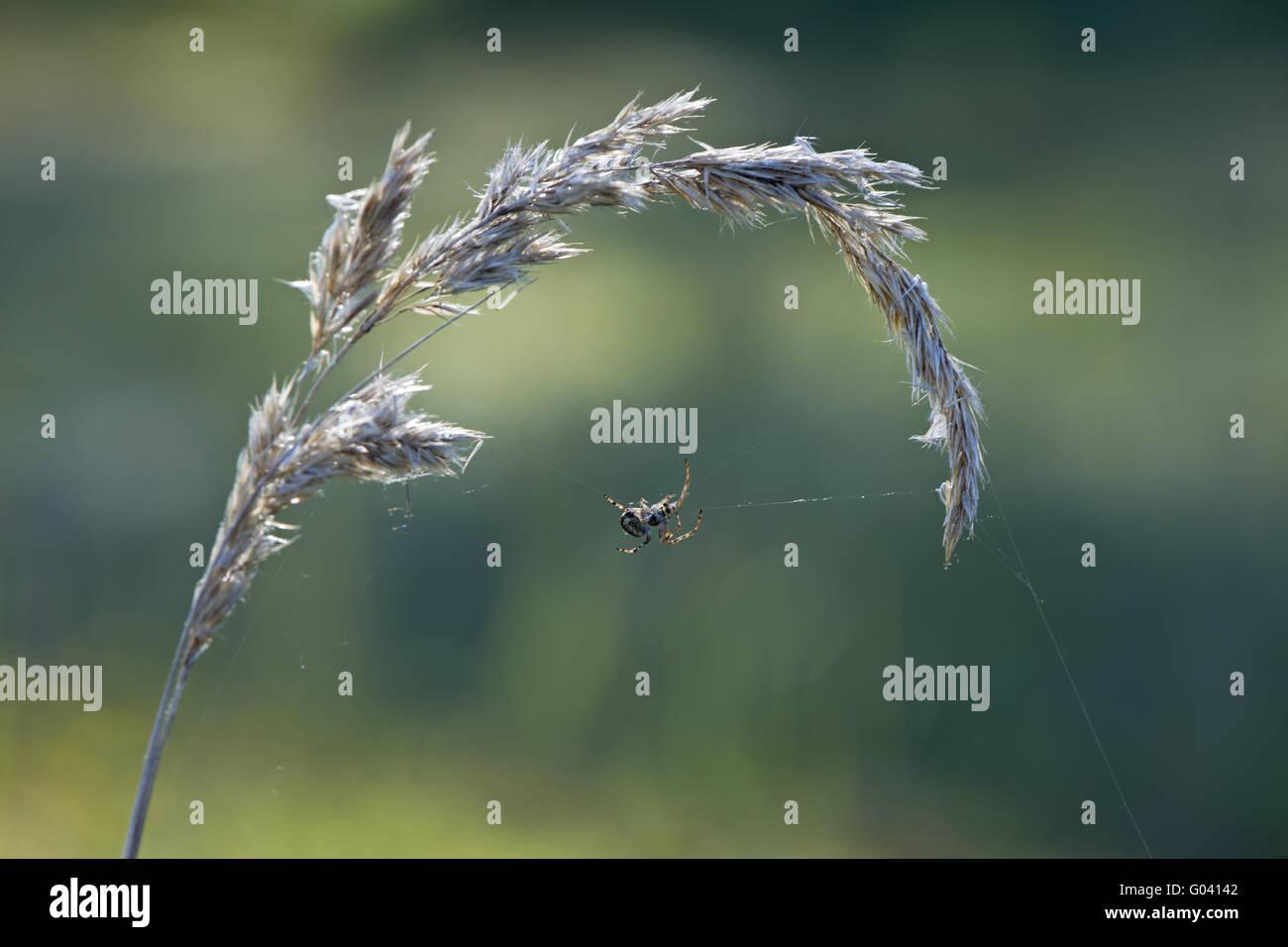 Spider - Stock Image