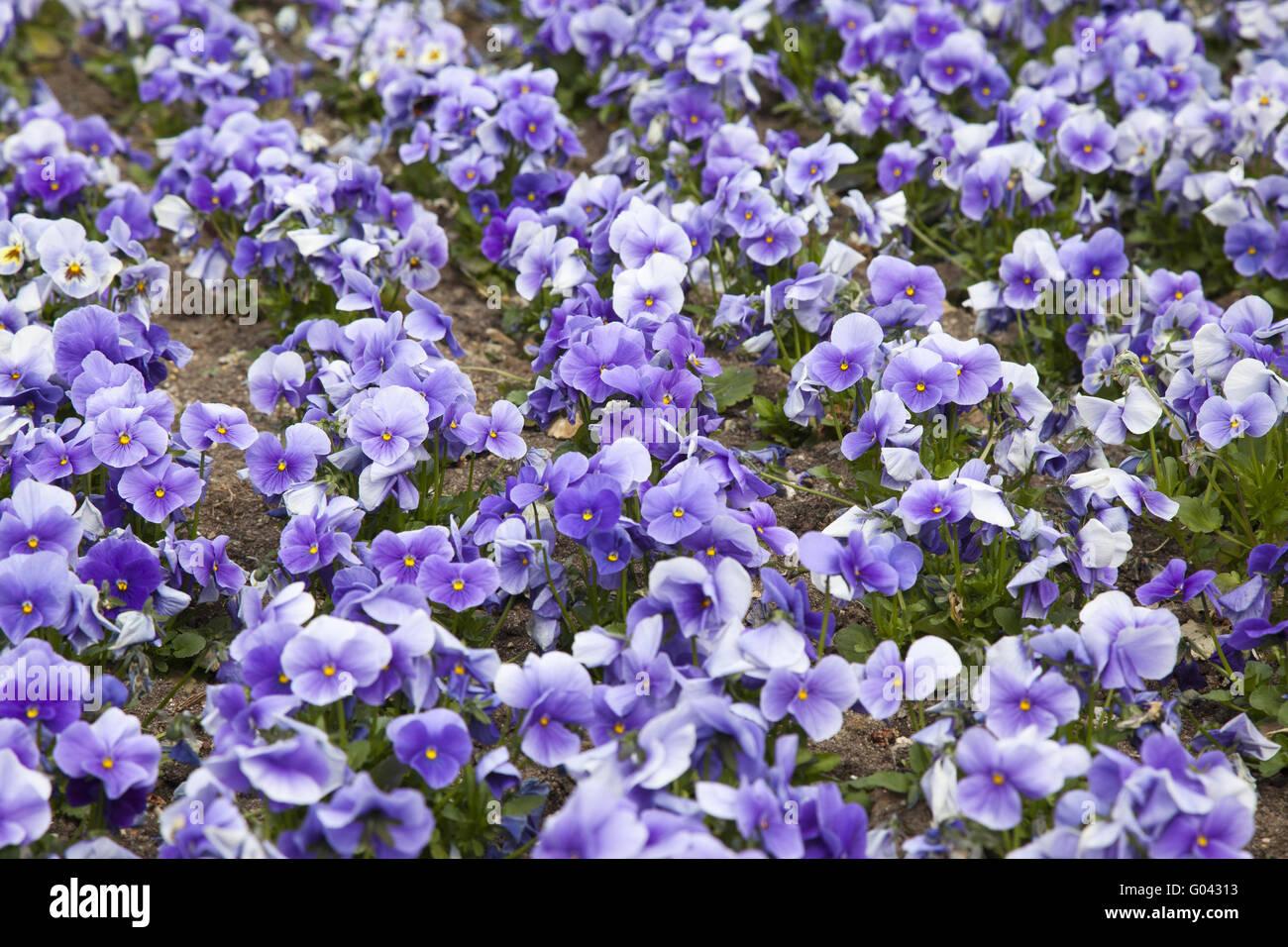 Violas - Stock Image