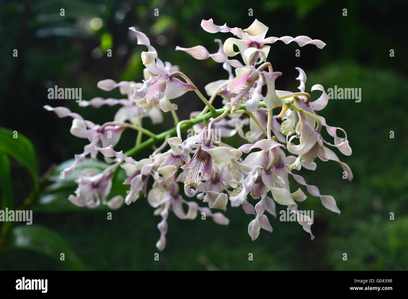 Antelope Dendrobium Orchid, Dendrobium sp., Family Orchidaceae, Central of Thailand Stock Photo