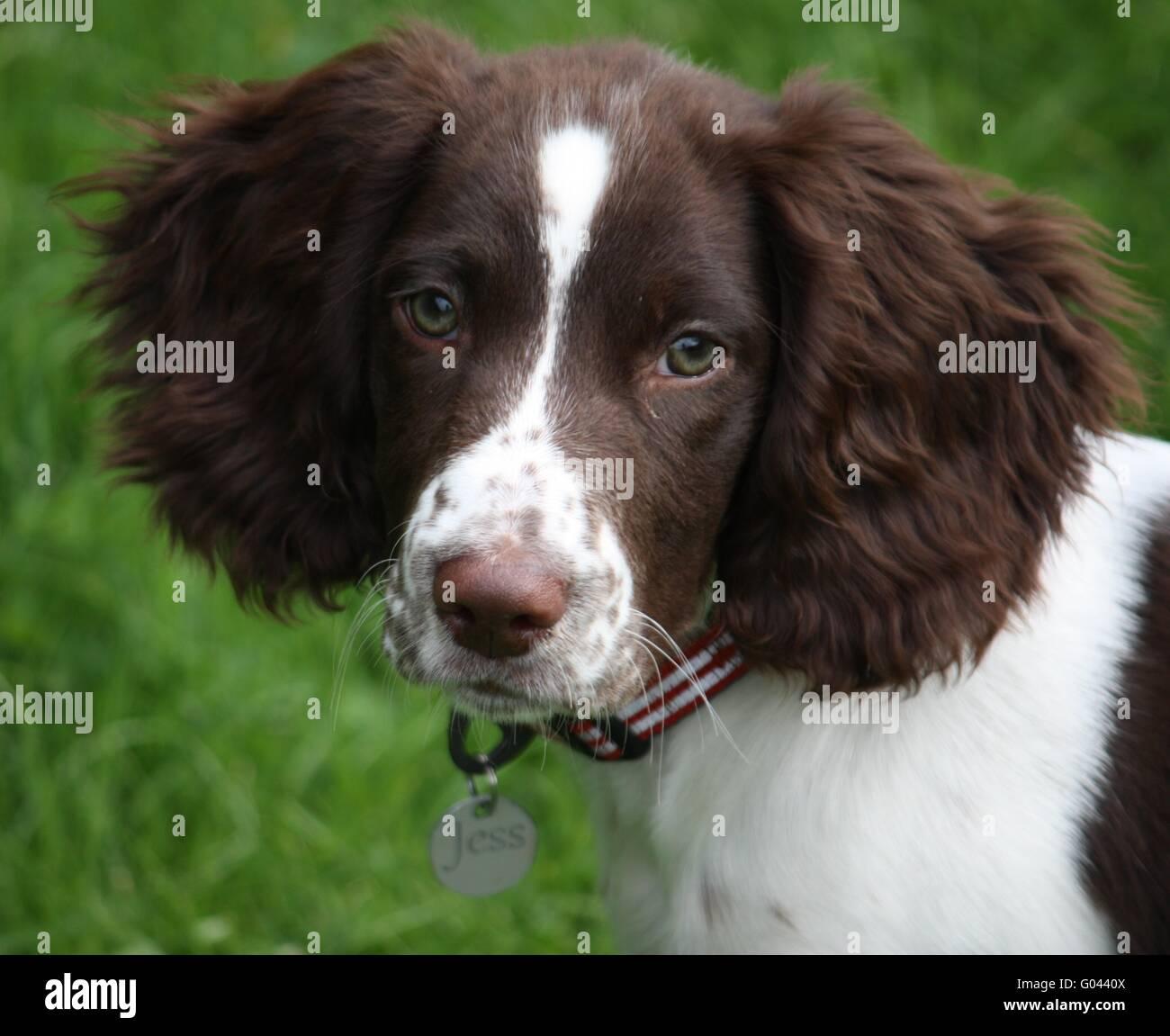 A Cute English Springer Spaniel Puppy Stock Photo Alamy
