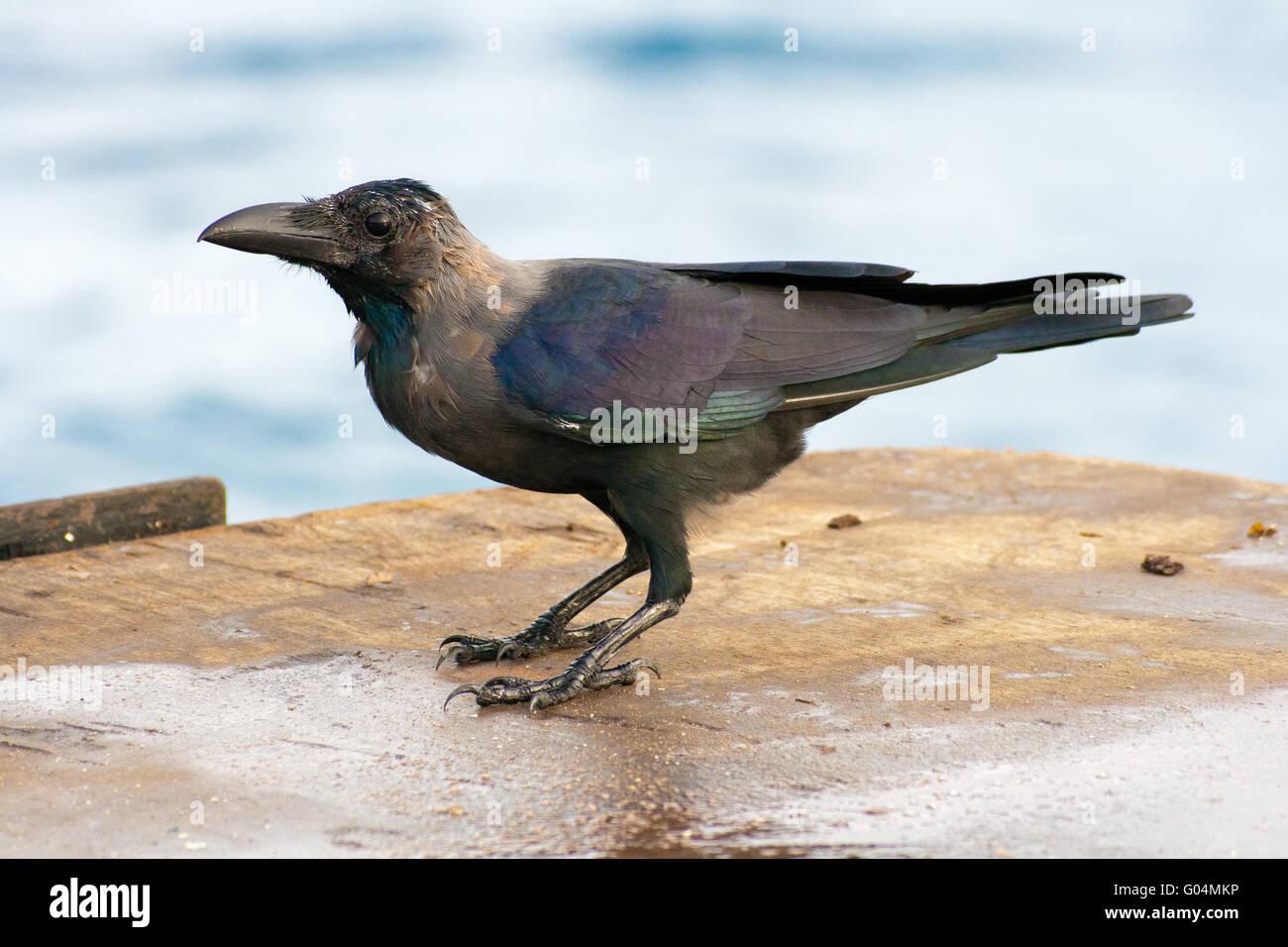 Raven - Stock Image