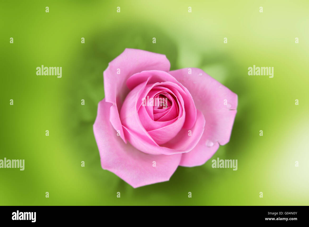 Scarlet rose in an environment of a blurred green background - Stock Image