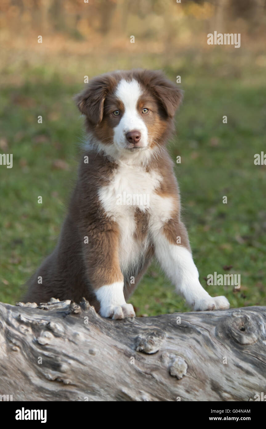Young Australian Shepherd, Red Tri, on a tree log Stock Photo