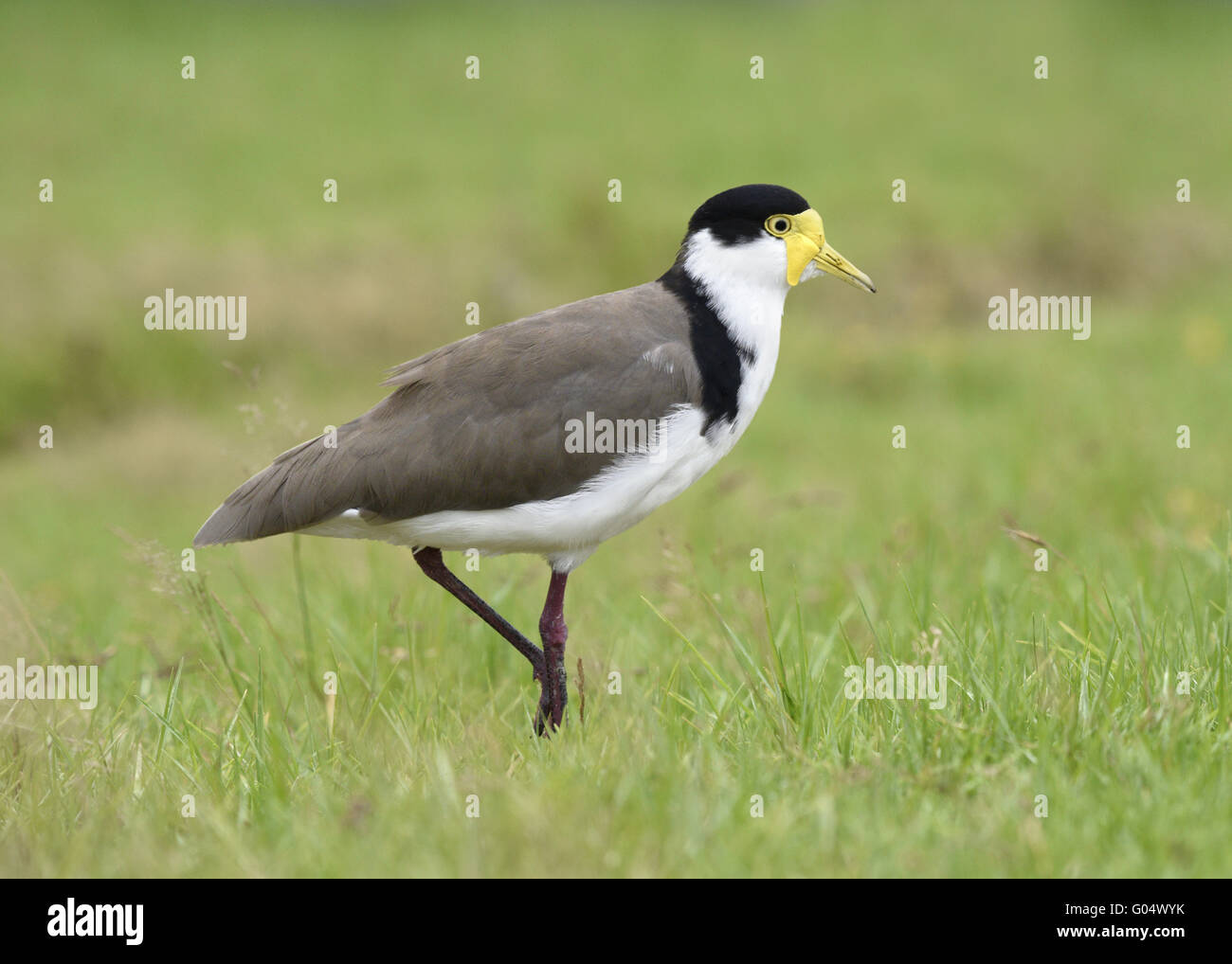 Masked Lapwing - Vanellus miles - Stock Image