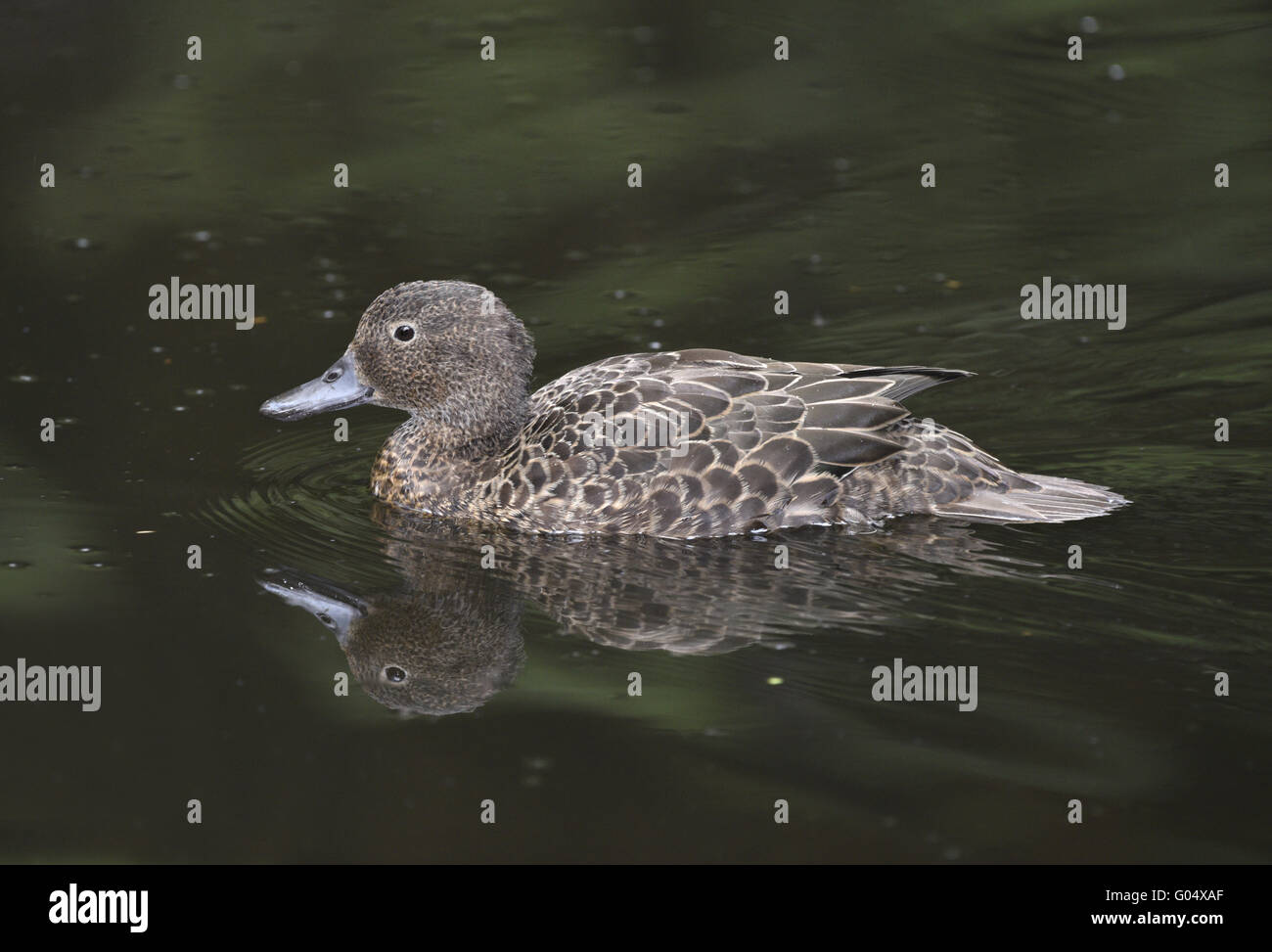 Brown Teal - Anas aucklandica - adult non-breeding Stock Photo