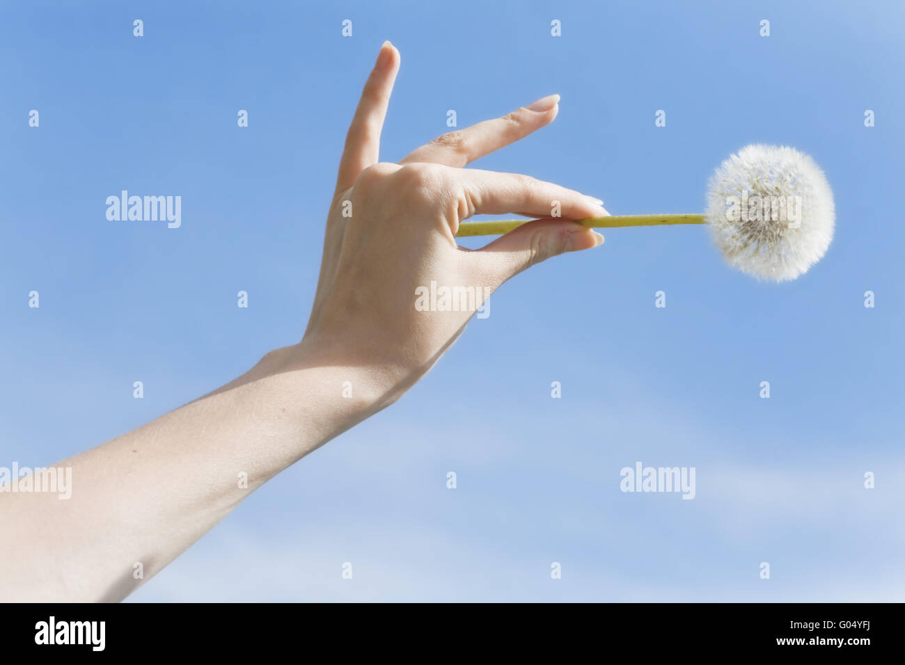 single flower on woman palm on a background of a b - Stock Image